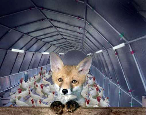 Image result for fox is guarding the hen house