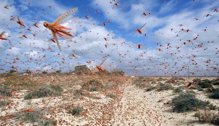 locust_canary1