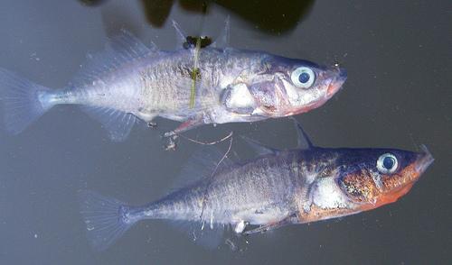 dead_fish_0