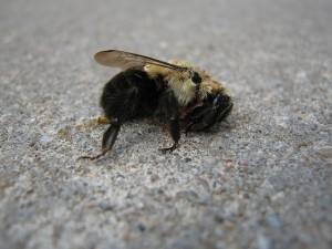 Flickr-Dead-Bees-PetroleumJelliffe-300x225