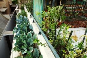Broccoli in Urban Organic Vegetable and Herbs Garden over Balcon