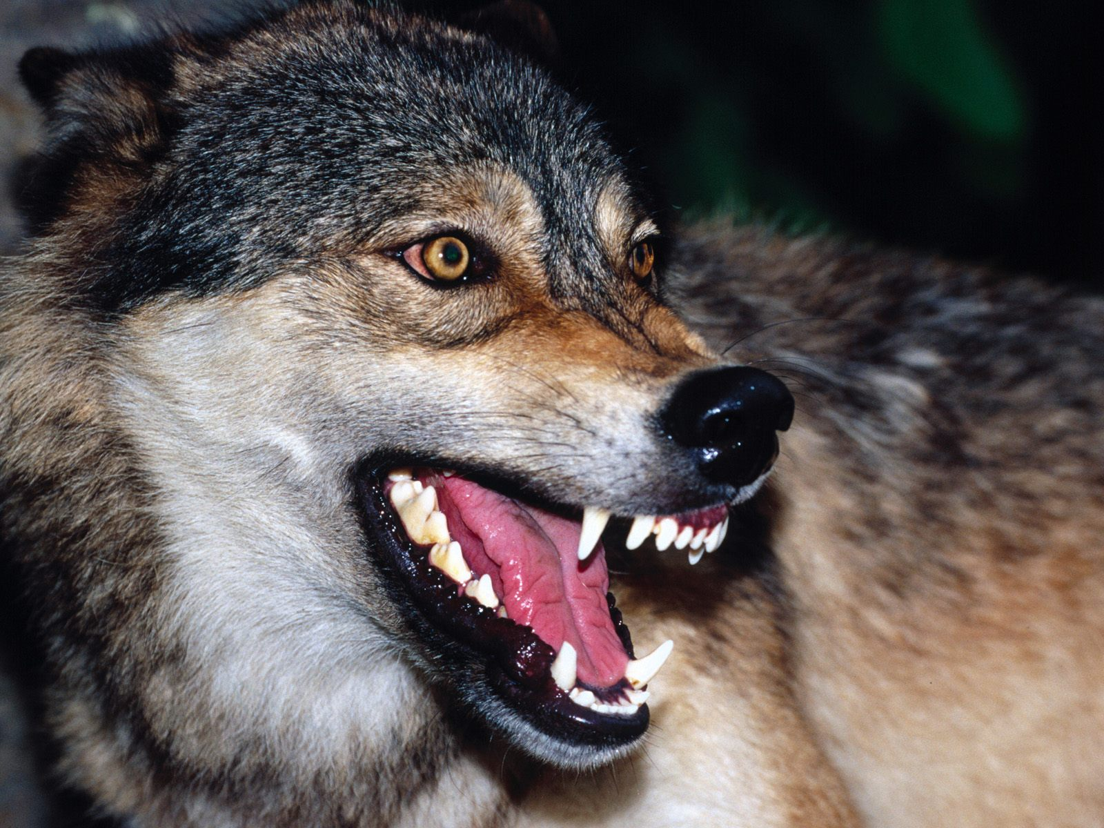 Snarling-Wolf | The Daily Sheeple