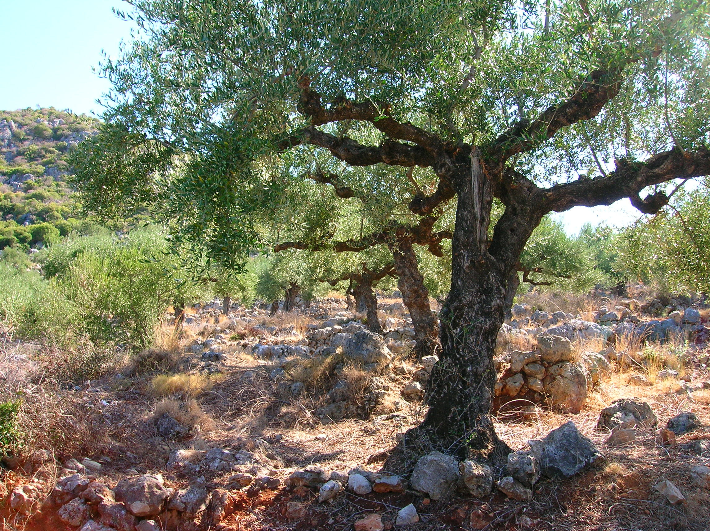 delightful what does an olive tree look like Part - 4: delightful what does an olive tree look like amazing ideas