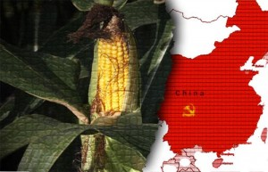 Pressure on Cargill & ADM to Dump GMO After China Rejects Corn Imports