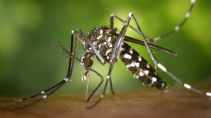 Alert: First Cases of US-Acquired Chikungunya Reported
