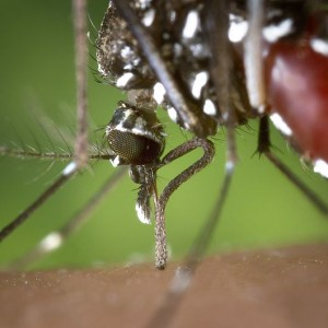 Possible Epidemic? The Chikungunya Virus Is Starting To Spread In America