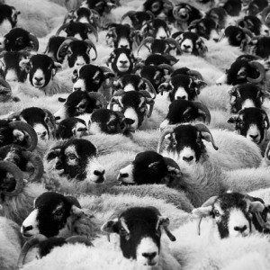 Sheep-In-A-Crowd-Public-Domain-300x300