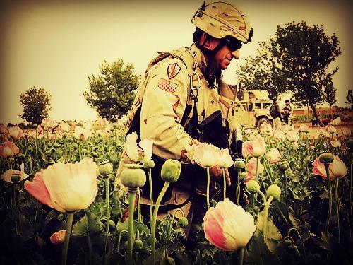 opium-field