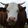 cow wikimedia