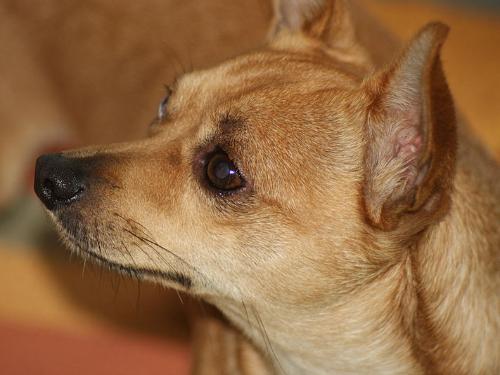 dog wikimedia