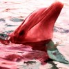 red-dolphin