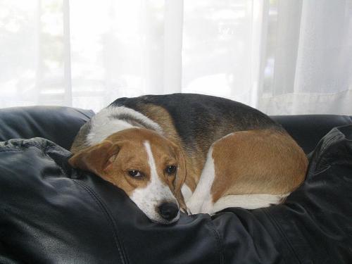 dog wikimedia.png
