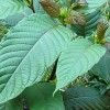 kratom-tree-768x463