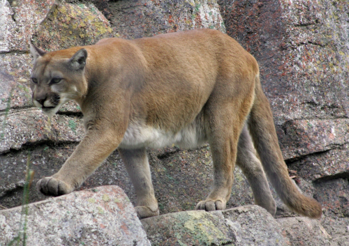 mountain lion wikimedia