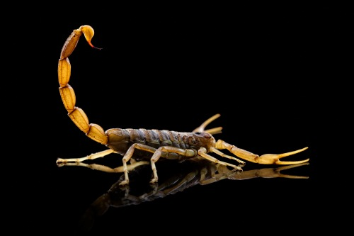 Yellow Scorpion on black background