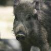 wild boar wikimedia