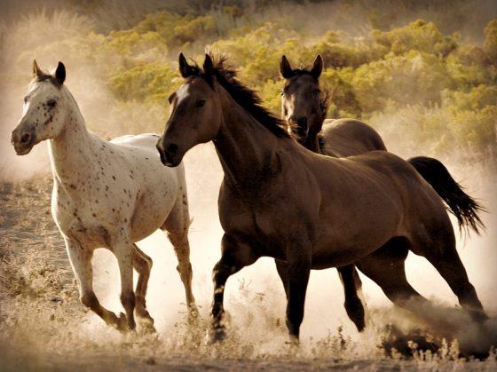 three horses two dark and one white running throgh the desert freely